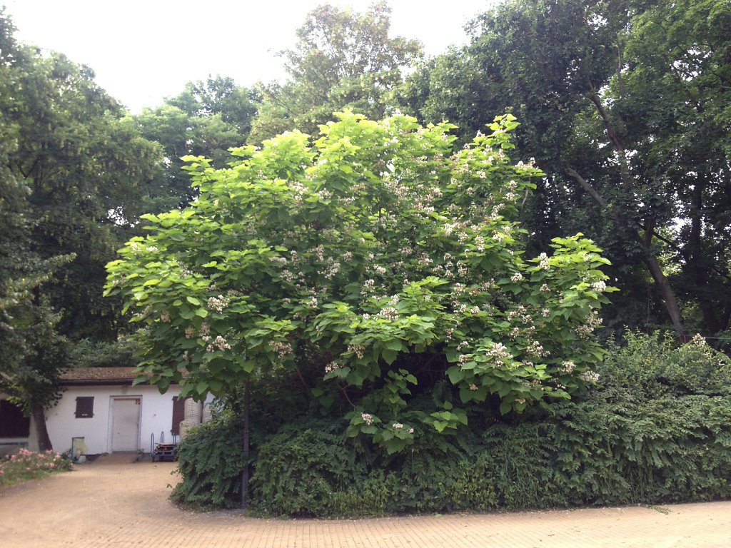 Nur drei Tage im Jahr blüht unser Trompetenbaum